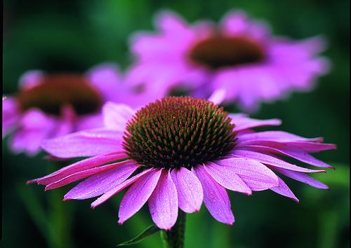 Echinacea purpurea - roter Sonnenhut Bluehende Pflanze.; Echinacea purpurea - purple coneflower, flowering Plant.; Echinacea purpurea - roter Sonnenhut, Bl?hende Pflanze.; Echinacea purpurea - purple coneflower, flowering plant.; Purple Coneflower - Echin