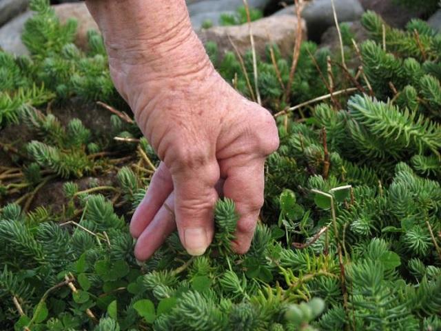 Une plante chinoise aussi bonne pour soigner l arthrite que les m dicaments conventionnels - Plante pour soigner les verrues ...