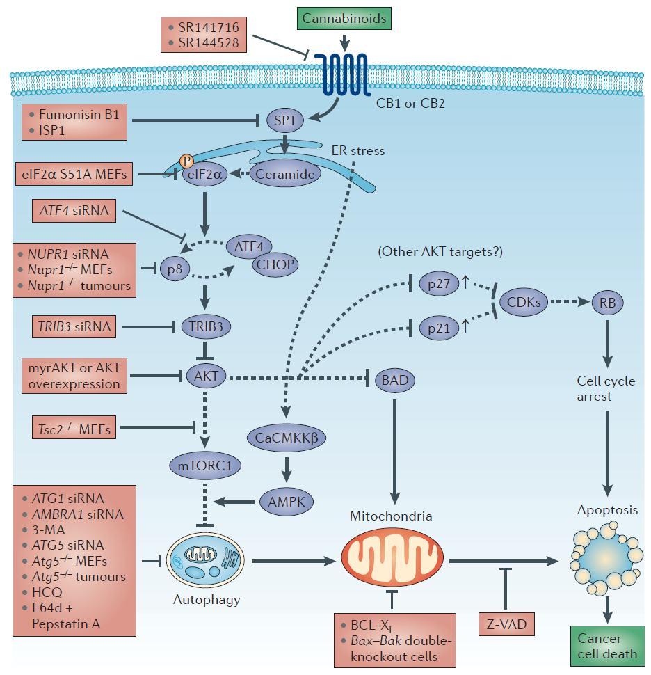 Schéma de l´action des cannabinoïdes contre les cellules cancéreuses.
