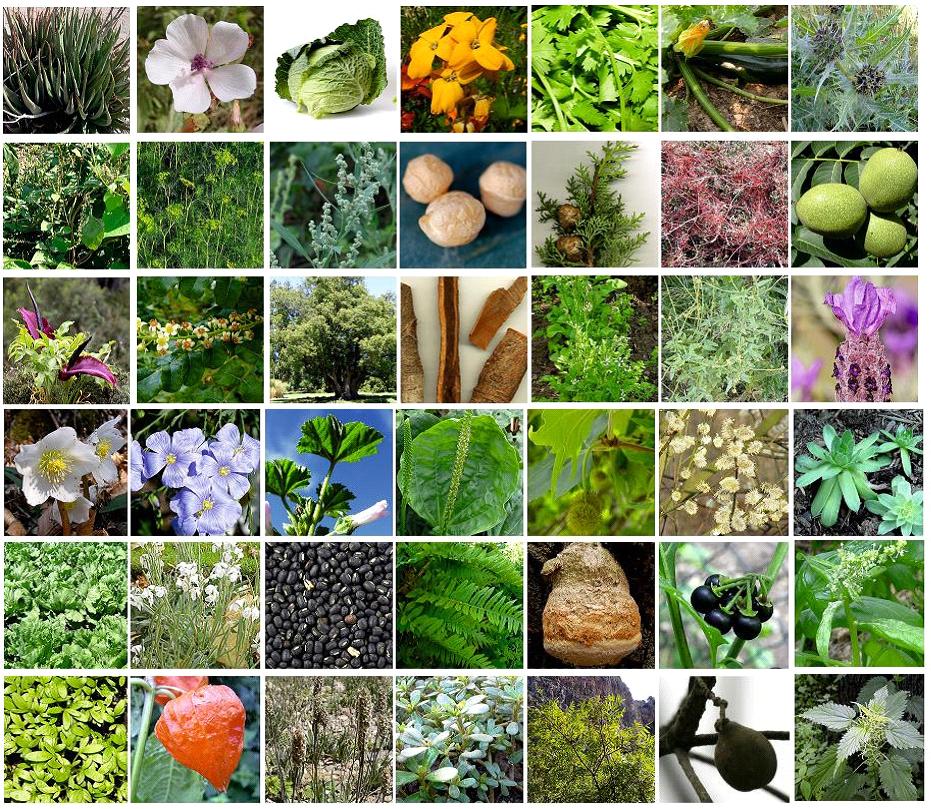 plantes-medicinales-2