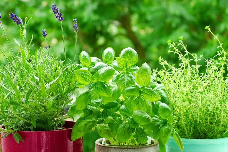 8 rem des naturels que vous pouvez faire pousser chez vous sant nutrition. Black Bedroom Furniture Sets. Home Design Ideas