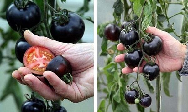 tomates-indigo-rose