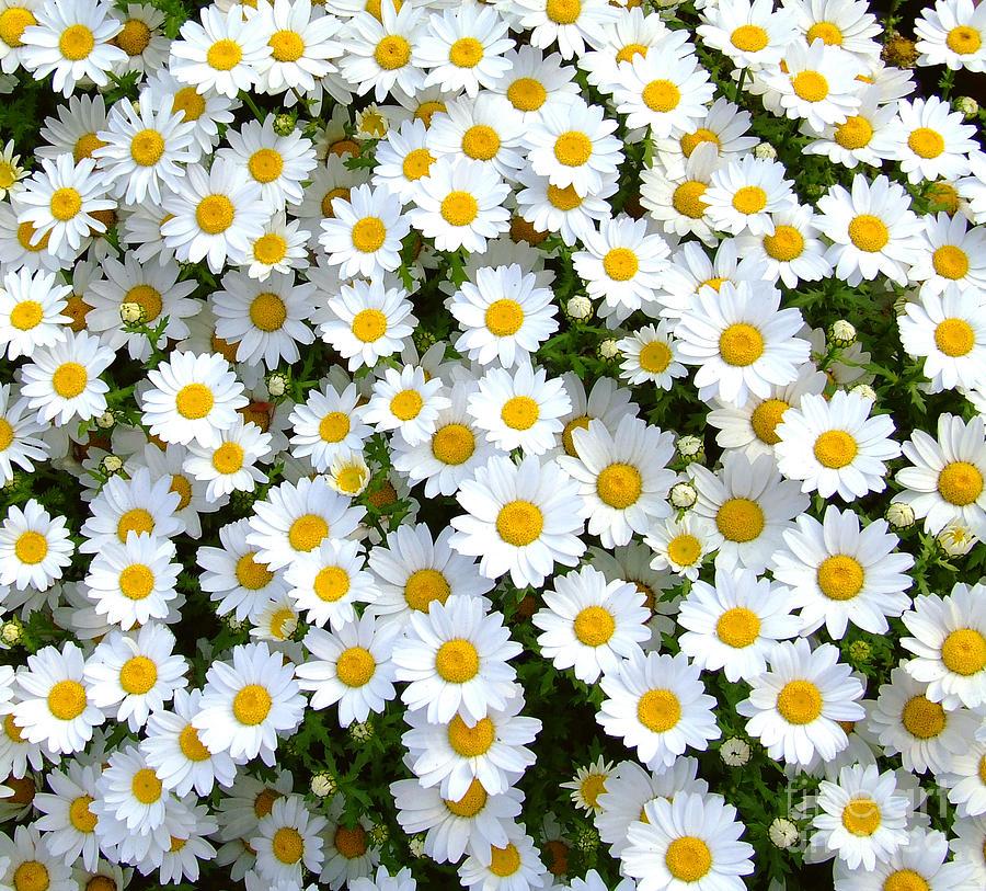 plantes-sauvages-paquerette
