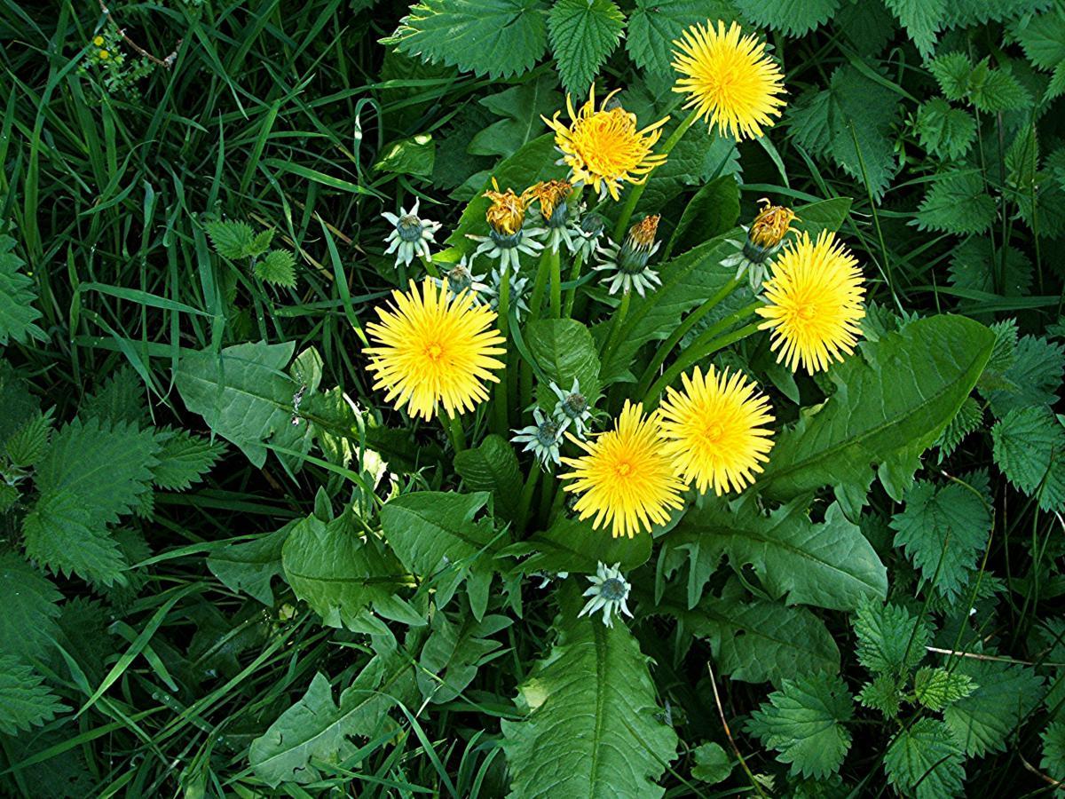 plantes-sauvages-pissenlit