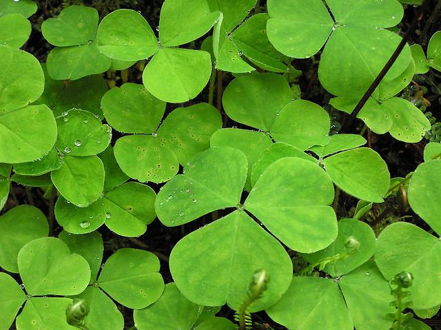 plantes-sauvages-trefle