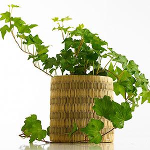 5 plantes pour votre chambre pour vous aider mieux dormir sant nutrition. Black Bedroom Furniture Sets. Home Design Ideas