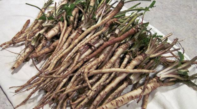 racines-de-pissenlit