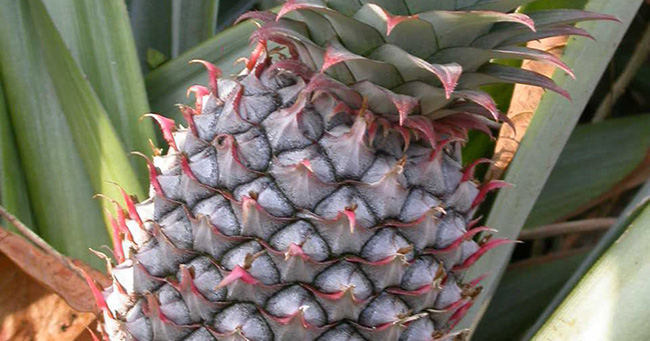 ananas-cancer