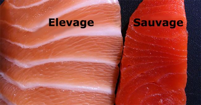 saumon-sauvage-elevage