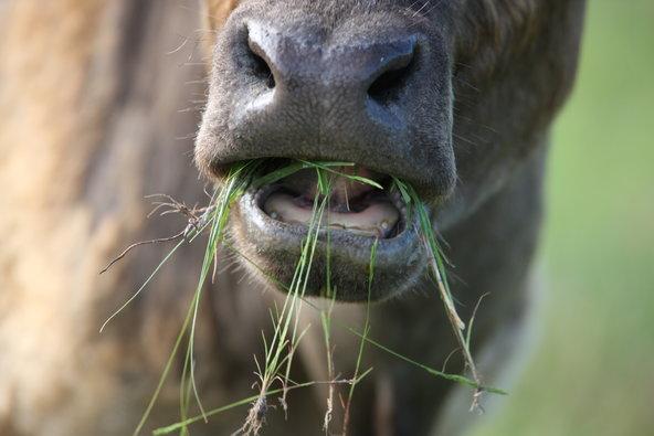 vache-nourrie-a-l-herbe