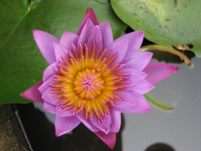 lotus-660x495