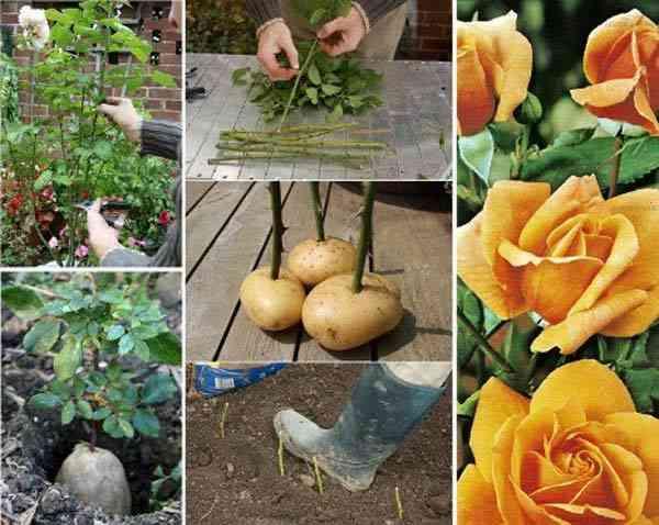 faire-pousser-boutures-rosiers-avec-pommes-de-terre