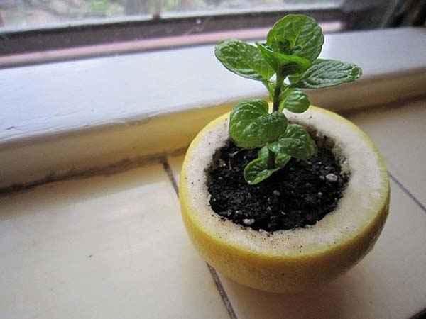 utiliser-citron-pour-mettre-semis