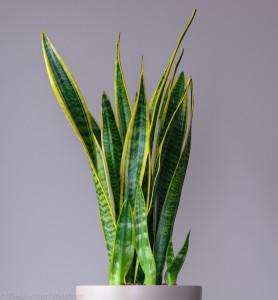 snake-plant-278x300
