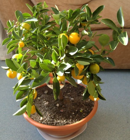 citronnier2