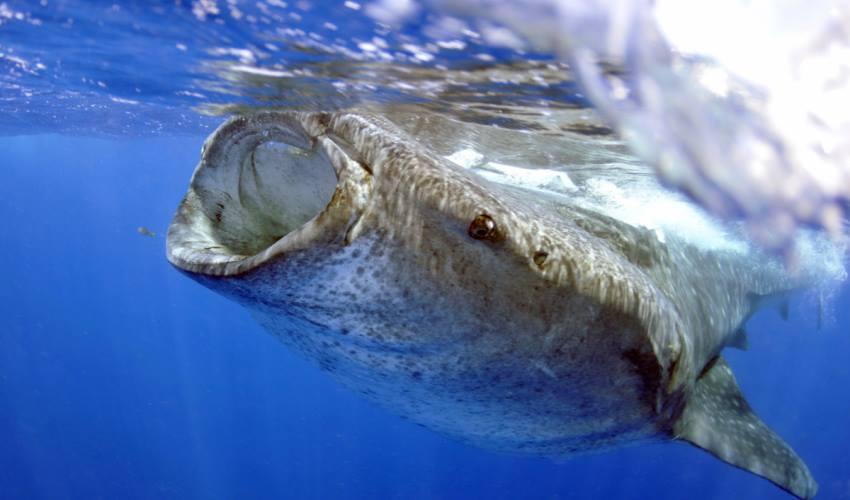 requins-baleines