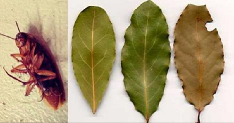 feuilles-de-laurier
