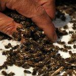 37 millions d'abeilles retrouvées mortes au Canada après la plantation d'un grand champ de maïs OGM