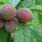 Nouvelle découverte incroyable! Ce fruit détruit le cancer en quelques minutes!