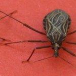 Attention ! si vous voyez cet insecte dans votre maison, sortez immédiatement et appelez un médecin !